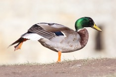 Mallard duck on one leg