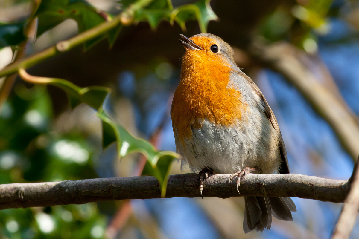 Robin singing amongst holly