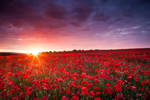 Brighton poppies at sunrise